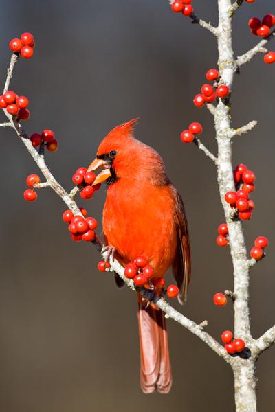 094E8943_Cardinal_Eating_Berries