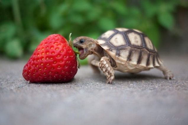 baby-turtle-eats-strawberry